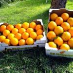 arance sicilia di franco